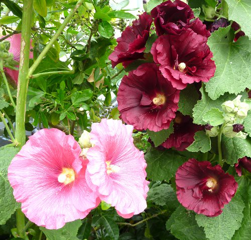 Hollyhocks3