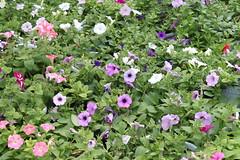 annual plant, geranium, flower, plant, wildflower, flora, groundcover,