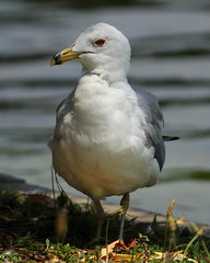 Ring-billed Gull at CG