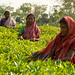 Tea Pickers at Finlay Tea - Srimongal, Bangladesh