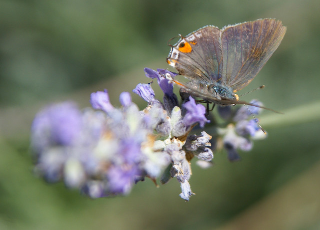 Hairstreak 201107-ag