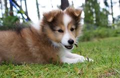 puppy(0.0), german spitz(0.0), rough collie(0.0), pembroke welsh corgi(0.0), collie(0.0), norwegian lundehund(0.0), dog breed(1.0), animal(1.0), dog(1.0), pet(1.0), carnivoran(1.0), shetland sheepdog(1.0), icelandic sheepdog(1.0),
