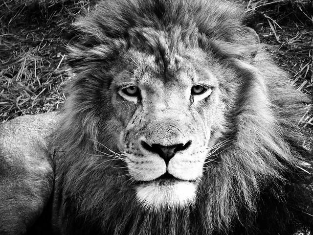 The King b&w lion birmingham zoo | Flickr - Photo Sharing!