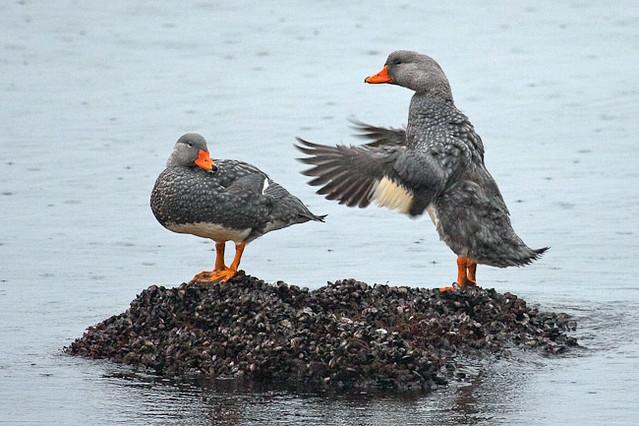 Flightless Steamer-Duck | Quetru No Volador (Tachyeres pteneres), Fam. Anatidae