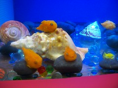 anemone fish(0.0), goldfish(0.0), toy(0.0), fish(1.0), yellow(1.0), marine biology(1.0), freshwater aquarium(1.0), reef(1.0), pomacentridae(1.0),