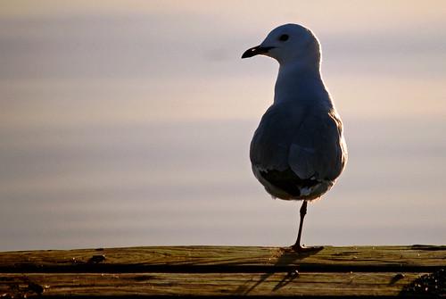 sunset sea newzealand sun lake birds animals silhouette landscape bay nikon rotorua gull nz geothermal hannahs d60