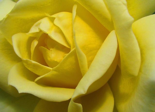 A Rose for Rachel / Une rose pour Rachel