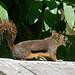 Flickr photo 'Douglas squirrel' by: Michael Jefferies.
