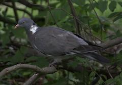 Wood Pigeon / Ringeltaube
