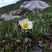 Mountain Avens - Photo (c) Josh*m, some rights reserved (CC BY-NC-SA)