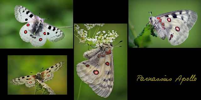 **Parnassius apollo**