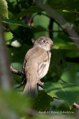 Least Flycatcher (Empidonax minimus)  -1.jpg