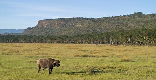 tiere kenya ken landschaft nakuru ort ereignis kaffernbüffel lakeviewestate bildinhalt kenyazanzibar2007 kaffernbã¼ffel