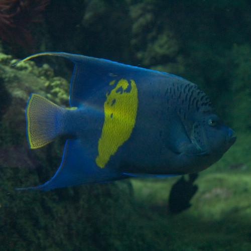 Pesce blu e giallo