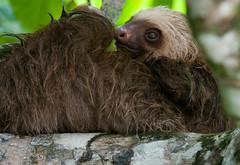 monkey(0.0), primate(0.0), marmoset(0.0), macaque(0.0), animal(1.0), three toed sloth(1.0), mammal(1.0), fauna(1.0), wildlife(1.0),