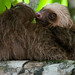 Two Toed Young Sloth