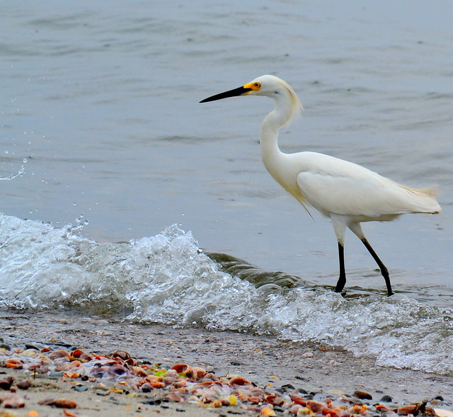 Egret in the Rain, Silver Sands State Park, Milford, CT