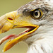 Panting Bald Eagle by affinity579