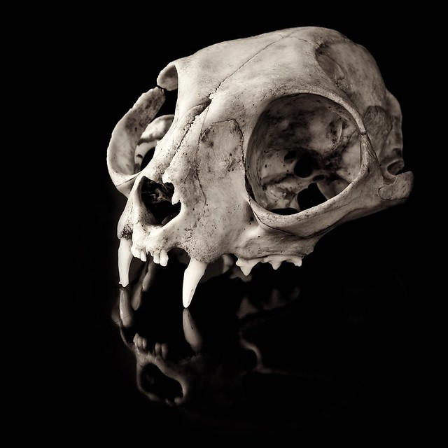 cat skull | Flickr - Photo Sharing!