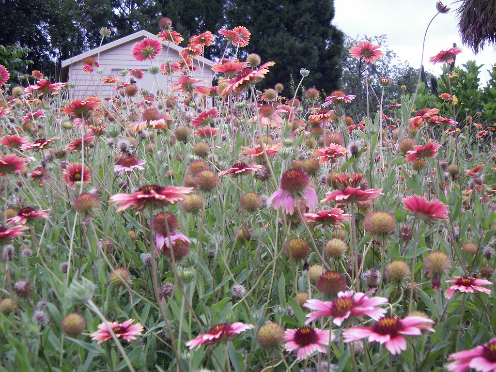 Mackay Gardens and Lakeside Preserve - Indian Blanket Flower