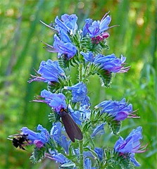 english lavender(0.0), hyssopus(1.0), flower(1.0), plant(1.0), insect(1.0), wildflower(1.0), meadow(1.0), chicory(1.0),