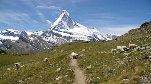 mountains alps schweiz switzerland sheep suisse meadow zermatt matterhorn höhenweg hohbalmen edelweissweg