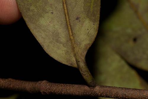 annonaceae xylopia xylopiaaethiopica harris9543 taxonomy:binomial=xylopiaaethiopica