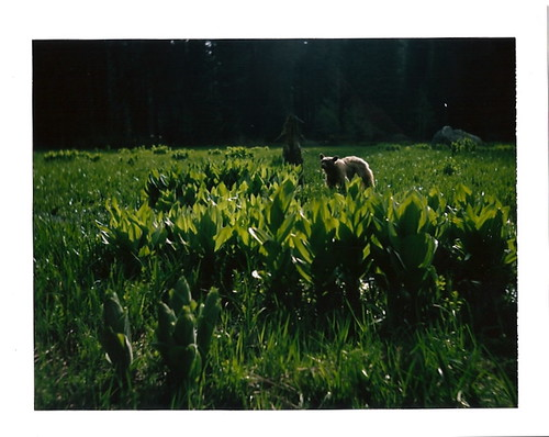 Black bear, Sequoia National Forest, CA