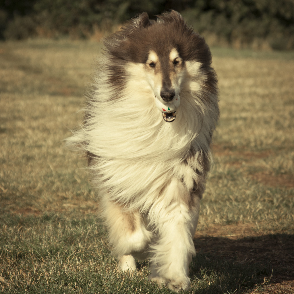 Rough collie puppies for sale
