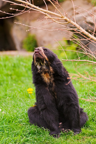 5956143012 3ac7a6abd2 Spectacled bear in a funny position