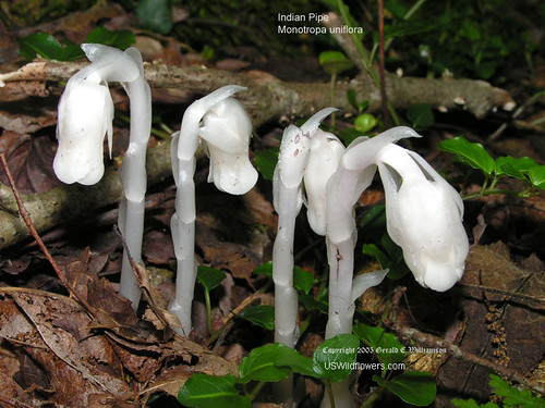 Indian Pipe - Monotropa uniflora