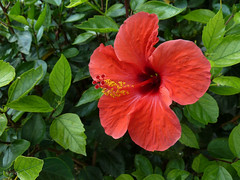 annual plant, flower, malvales, flora, chinese hibiscus, petal,