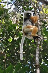 Diadema Sifaka with Baby