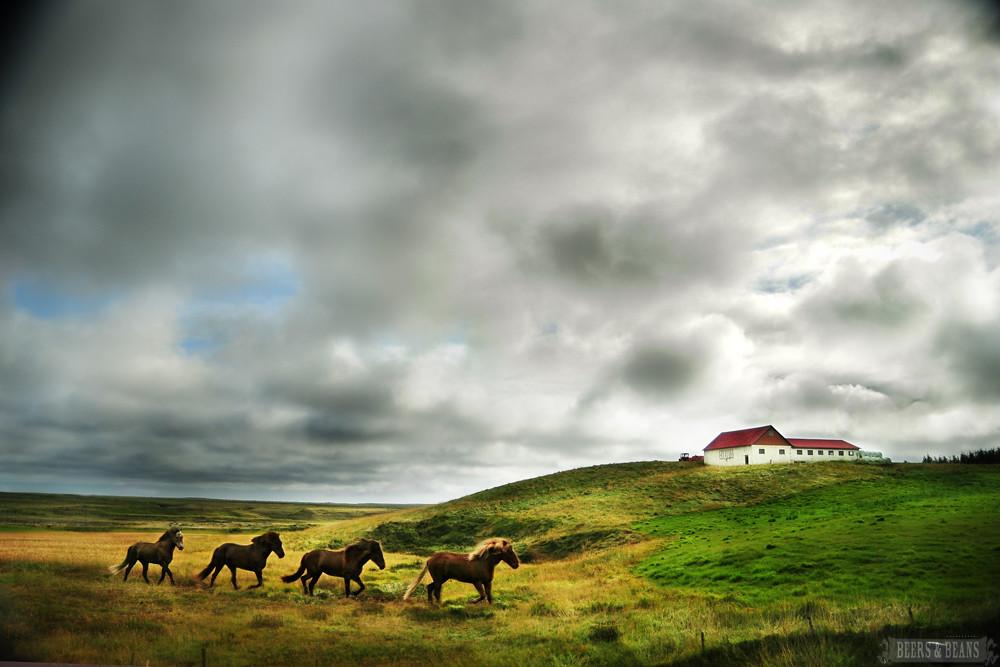 Horses running in Iceland