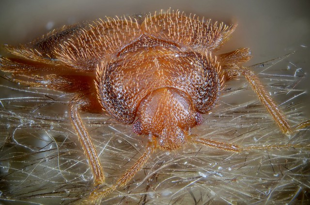 Cimex lectularius (bed bug)