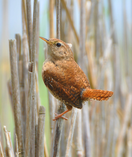 Wren perched on reed