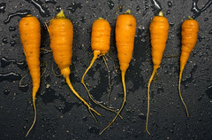 carrot harvest: short squat, and flavorful