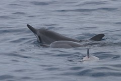 animal, marine mammal, common bottlenose dolphin, marine biology, short-beaked common dolphin, dolphin, striped dolphin, spinner dolphin, stenella, tucuxi,