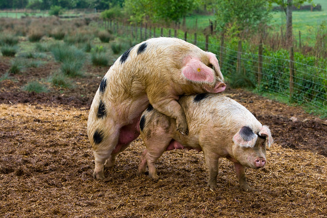 ... pig mating mating pigs breeding dog mating with pig mating pigs
