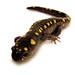 Small photo of Spotted Salamander (Ambystoma maculatum), front