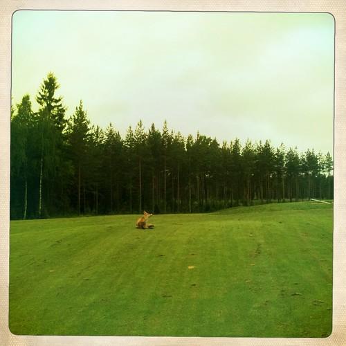 june suomi finland golf fox kesä lappeenranta 2011 kesäkuu kettu eteläsaimaa suomitour2011