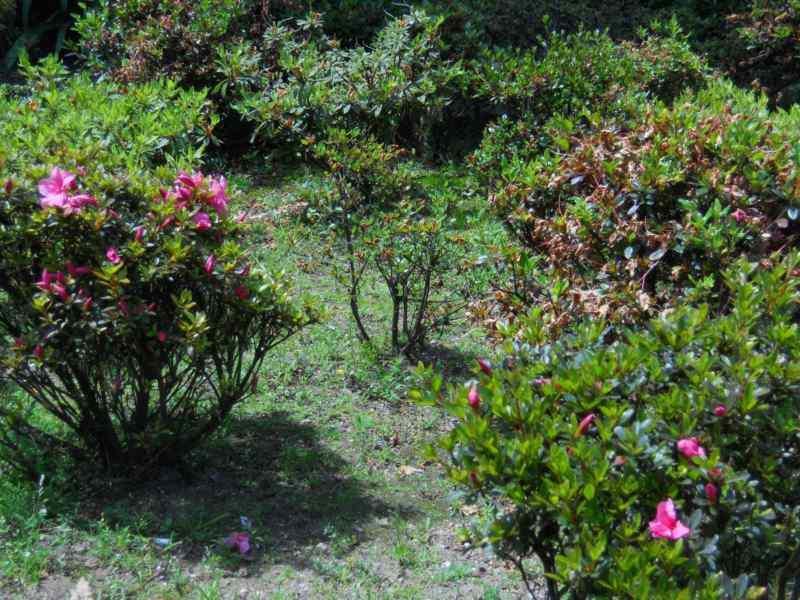 Rhododendron japonicum 'Favorite' 5