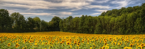 france flower nature fleur colors field yellow jaune canon landscape photography eos photo couleurs champs meadow sigma wideangle 7d sunflower prairie 1020mm paysage campagne hdr franchecomté tournesol photomatix hautesaône boult philippesaire