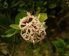 honeysuckle, evergreen, flower, leaf, plant, flora,