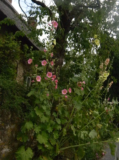 Hollyhocks Amberley