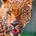 Small photo of Portrait of a leopard