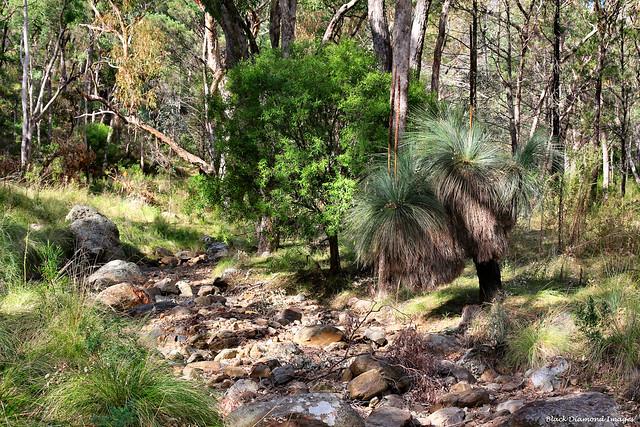 Xanthorrhoea glauca subsp. angustifolia - Grass Tree - Grand High Tops Walk, Warrumbungles