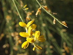 Genestra (Eng: Broom) - native plant of the hills of Etna