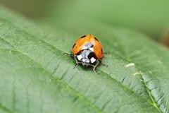 arthropod, animal, ladybird, leaf, invertebrate, insect, macro photography, fauna, close-up, beetle,