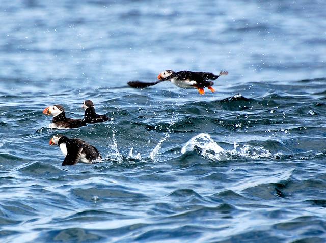 Frailecillos en las islas de Farne. Northumberland, Inglaterra